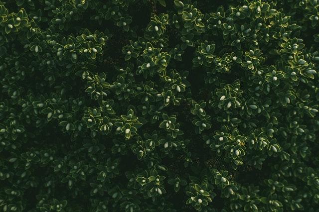 Warum jener Bloombux eine tolle Alternative zu Buchsbaum ist!